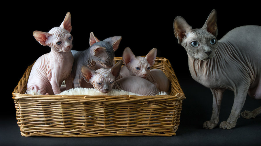 Gatos Sphynx: brincalhões e afáveis mas muito peculiares