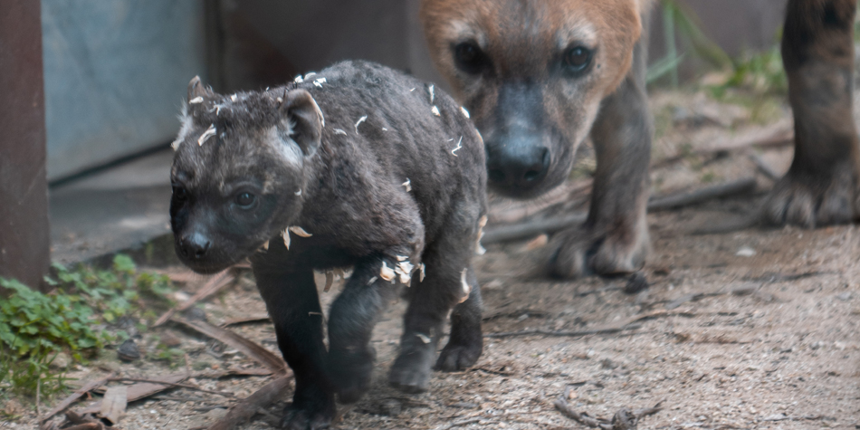 Zoo Santo Inácio celebra primeira Hiena Malhada a nascer em Portugal