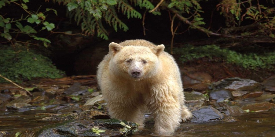 É branco mas não é polar. Espécie rara de urso pardo avistada no Canadá (vídeo)